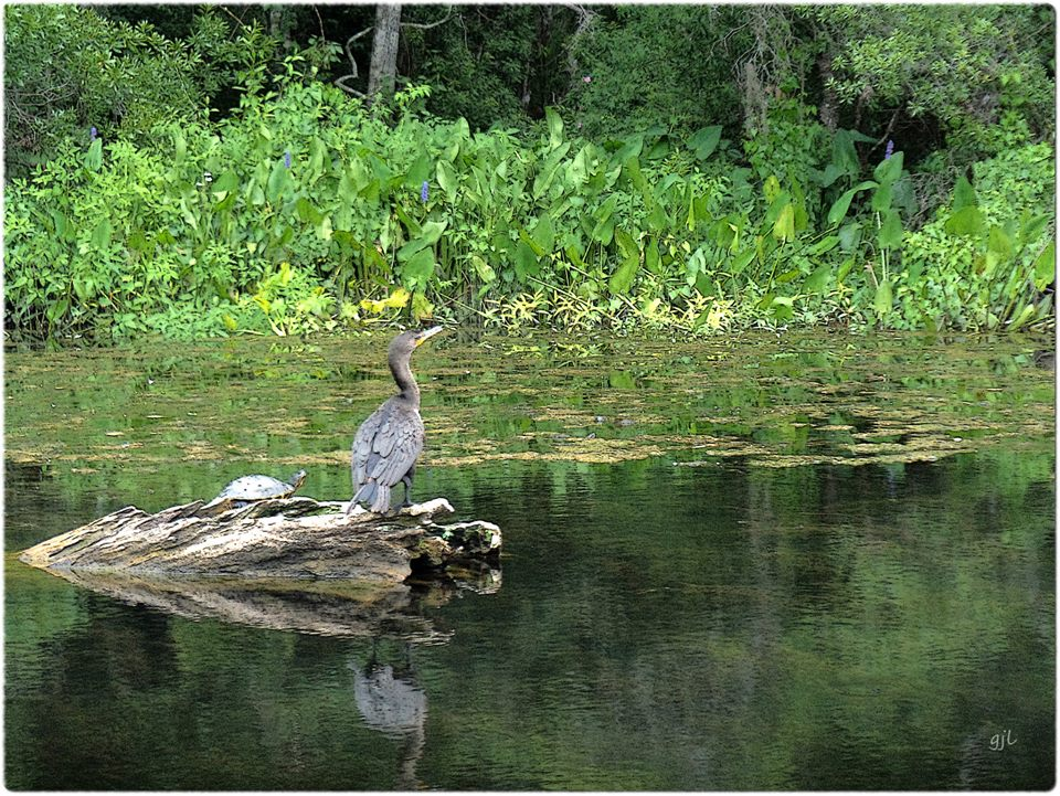 bird_on_the_wakulla_river