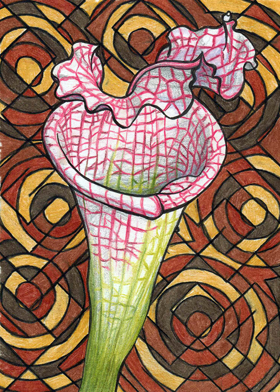 The Pitcher Plant © Starr Shumaker